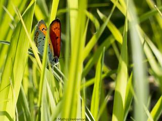 2014-08-04-01-Grote vuurvlinder in de Weerribben