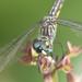 Blue Dasher (Pachydiplax longipennis) by celerycelery