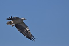 White - bellied Sea - Eagle