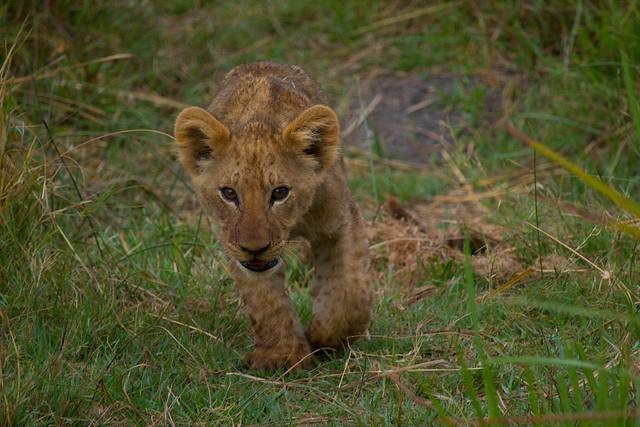 Approaching lion cub