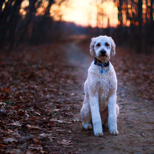 dog portrait sunset forest woods northbrunswicktownship newjersey unitedstates us trail path