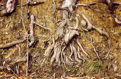 roots by Genista