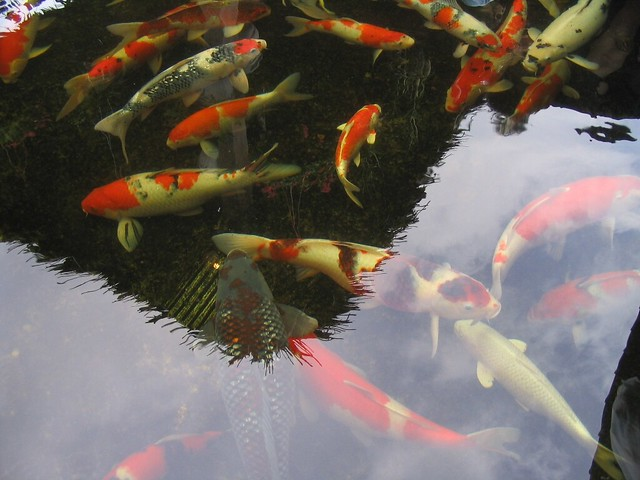 Koi japanese ornamental carp flickr photo sharing for Decorative carp