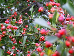 blossom(0.0), evergreen(0.0), berry(0.0), acerola(0.0), malpighia(0.0), crataegus pinnatifida(0.0), rowan(0.0), rose hip(0.0), hawthorn(0.0), shrub(1.0), flower(1.0), branch(1.0), plant(1.0), flora(1.0), produce(1.0), fruit(1.0), food(1.0), aquifoliaceae(1.0), aquifoliales(1.0),
