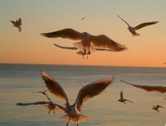 Gulls flying3