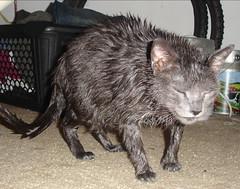 rat(0.0), muridae(0.0), degu(0.0), viverridae(0.0), animal(1.0), pet(1.0), mammal(1.0), fauna(1.0), whiskers(1.0),