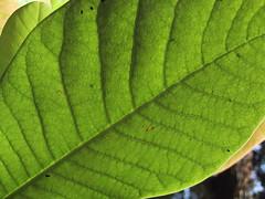flower(0.0), plant(0.0), banana leaf(0.0), ferns and horsetails(0.0), plant stem(0.0), leaf(1.0), yellow(1.0), tree(1.0), macro photography(1.0), flora(1.0), green(1.0), close-up(1.0), plant pathology(1.0),