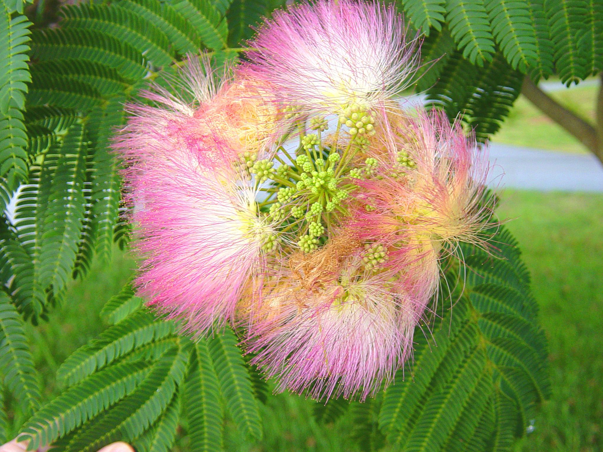 Persian Silk Tree Albizia Julibrissin Inaturalist