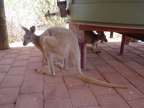 Kangaroos in the shade