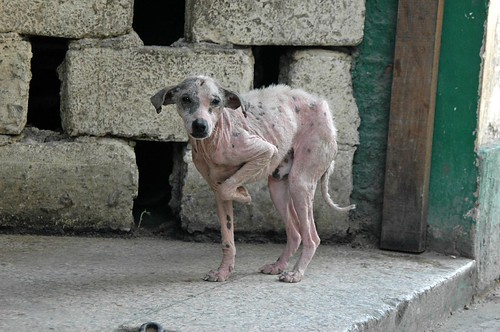 Havana dog with mange