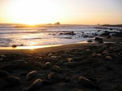 California Elephant Seals