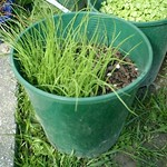 chives planting in Petone by shiny