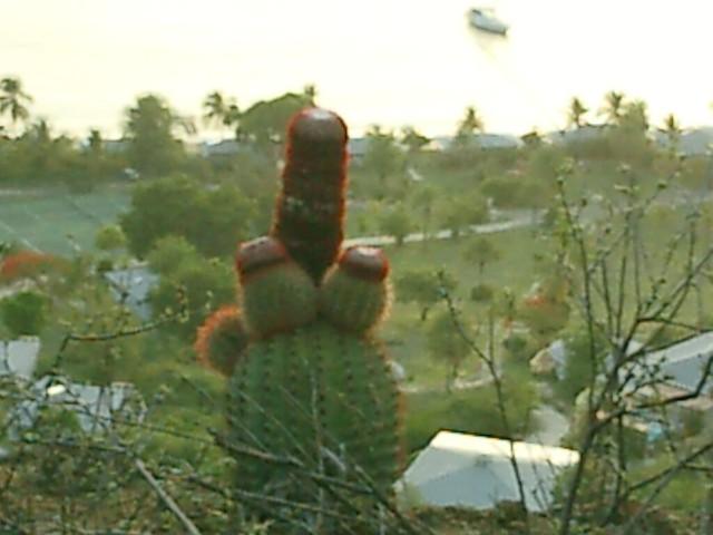 Penis-shaped cactus