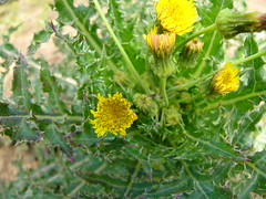 annual plant, flower, yellow, plant, sow thistles, flora,