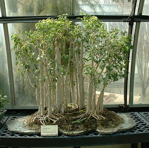 bonsai ficus benjamina 39 natasha 39 a photo on flickriver. Black Bedroom Furniture Sets. Home Design Ideas