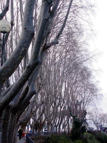 gianicolo trees