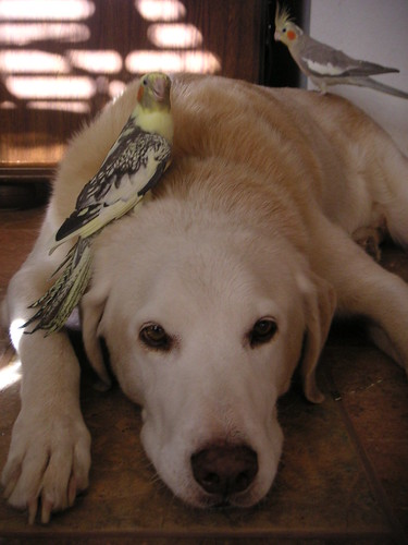 yellow Labrador 'Alvin' with 2 cockatiels on him