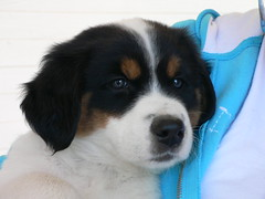 dog breed, animal, puppy, dog, appenzeller sennenhund, pet, greater swiss mountain dog, entlebucher mountain dog, carnivoran,