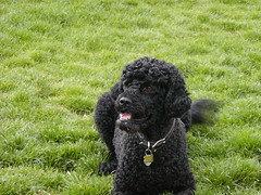 toy poodle, miniature poodle, standard poodle, dog breed, animal, dog, schnoodle, pumi, curly coated retriever, pet, lagotto romagnolo, poodle crossbreed, irish water spaniel, poodle, cockapoo, portuguese water dog, spanish water dog, barbet, american water spaniel, carnivoran,