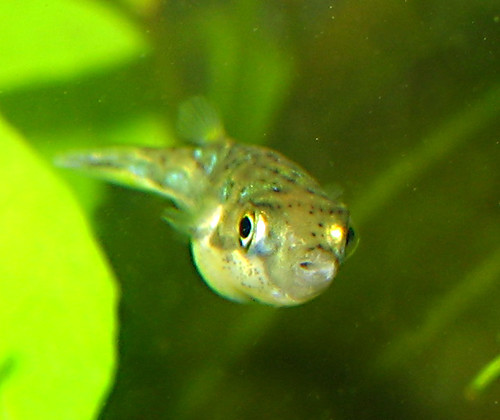 Dwarf puffer fish flickr photo sharing for Dwarf puffer fish