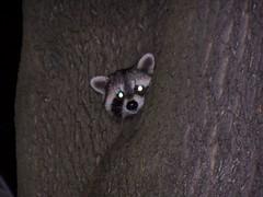 pet(0.0), cat(0.0), bat(0.0), animal(1.0), mammal(1.0), macro photography(1.0), fauna(1.0), procyonidae(1.0),