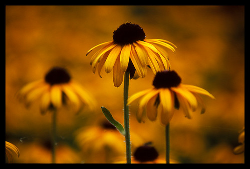 flowers 15fav flower color yellow closeup 510fav dof multiples daisy weeklysurvivor weeklyblog9