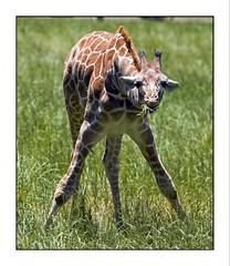 animal, giraffe, fauna, giraffidae, wildlife,