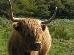 texas longhorn(0.0), grazing(0.0), muskox(0.0), bison(0.0), cattle-like mammal(1.0), animal(1.0), mammal(1.0), horn(1.0), ox(1.0), fauna(1.0), cattle(1.0), yak(1.0), pasture(1.0), safari(1.0), wildlife(1.0),