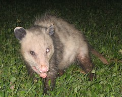 wombat(0.0), viverridae(0.0), animal(1.0), opossum(1.0), virginia opossum(1.0), possum(1.0), common opossum(1.0), mammal(1.0), fauna(1.0), wildlife(1.0),