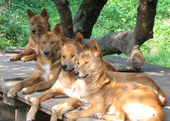 pet(0.0), finnish spitz(0.0), belgian shepherd malinois(0.0), dhole(0.0), dog breed(1.0), animal(1.0), dingo(1.0), dog(1.0), carolina dog(1.0), street dog(1.0), mammal(1.0), wolfdog(1.0), saarloos wolfdog(1.0),