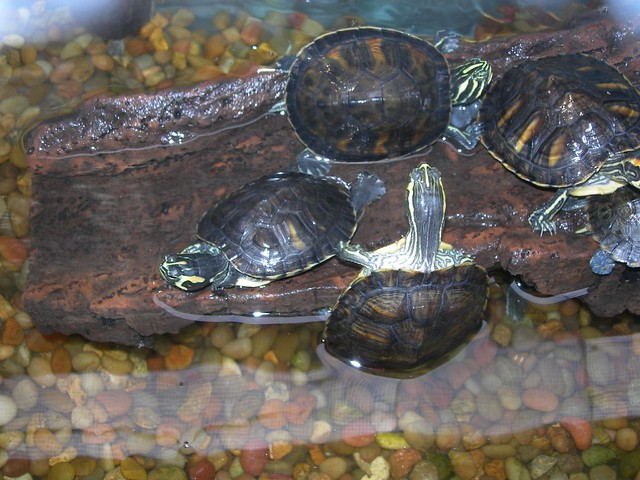 Turtles in the Tybee Island Marine Center