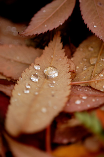 Rain drops on fallen leaf 01