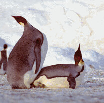 emperor penguins mating   Flickr - Photo Sharing!