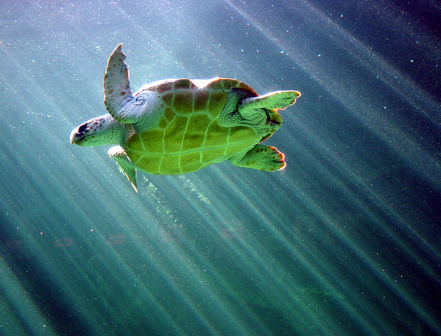 Sea turtle two oceans aquarium capetown flickr photo for Aquarium tortue