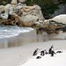 Jackass penguins at Boulders