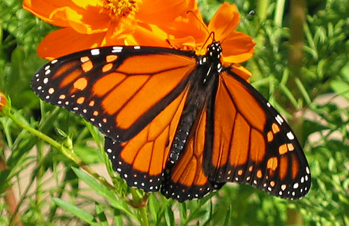 Monarch butterfly population hits a new low