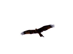 animal figure(0.0), bald eagle(0.0), animal(1.0), bird of prey(1.0), eagle(1.0), wing(1.0), vulture(1.0), bird(1.0),