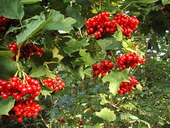 evergreen, berry, leaf, red, plant, flora, fruit, currant, schisandra,