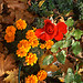 051009 sumpan autumn rose