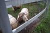 Photo:Sheep biting the fence By yamada*