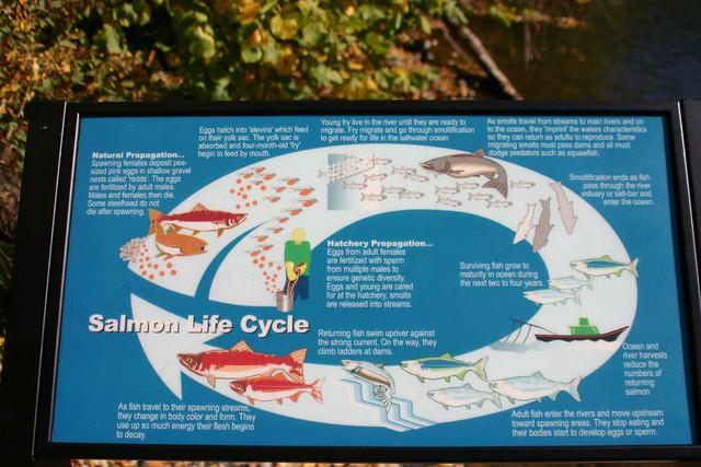53250251 fb19198938 z jpg zz 1Salmon Life Cycle Map