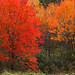 *Flaming Fall Foliage Colors