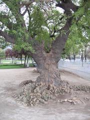 Arbol Parque Bustamante