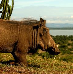 cattle-like mammal(0.0), horn(0.0), grazing(0.0), rhinoceros(0.0), cattle(0.0), animal(1.0), grass(1.0), mammal(1.0), fauna(1.0), warthog(1.0), savanna(1.0), safari(1.0), wildlife(1.0),