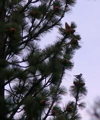 Clark's nutcracker in a pine tree