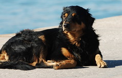dog breed, animal, dog, hovawart, carnivoran,