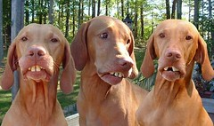 dog breed, animal, dog, redbone coonhound, pet, mammal, vizsla,