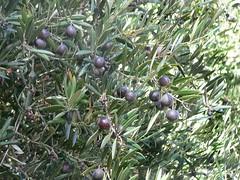 evergreen(0.0), shrub(0.0), juniper berry(0.0), flower(0.0), damson(0.0), huckleberry(0.0), prunus spinosa(0.0), bilberry(0.0), berry(1.0), branch(1.0), olive(1.0), flora(1.0), produce(1.0), fruit(1.0), food(1.0),