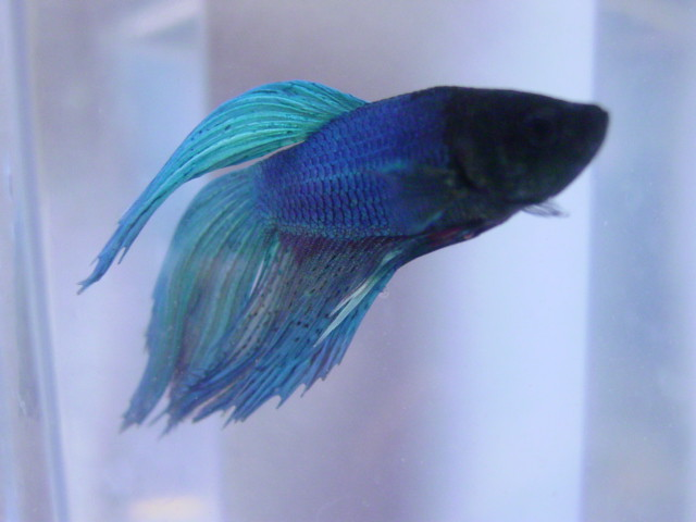 japanese fighting fish 4 i love bettas i tried to breed