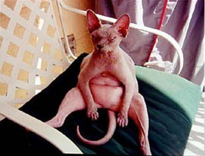 Naked Fat Cat